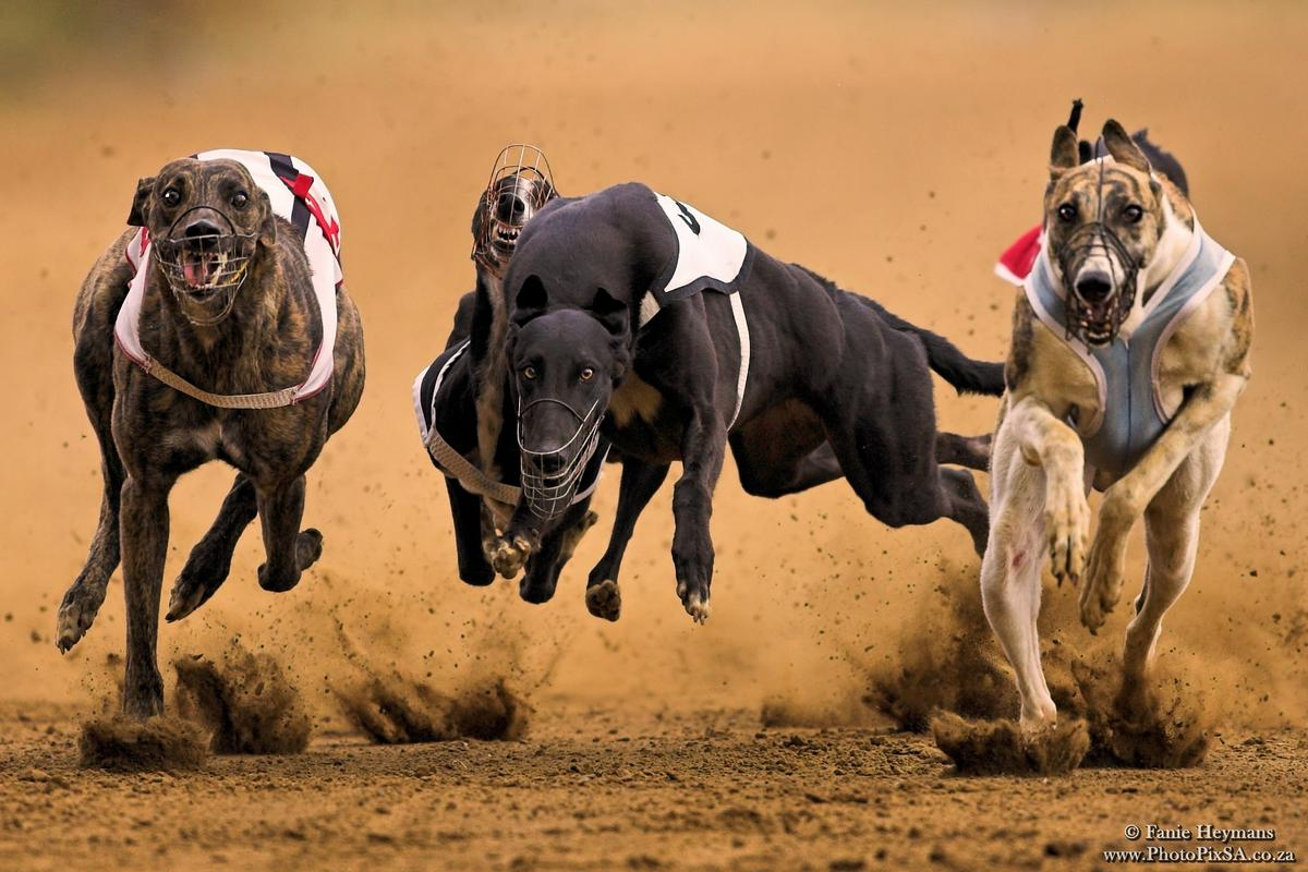 This racing dog has a long and interesting history.