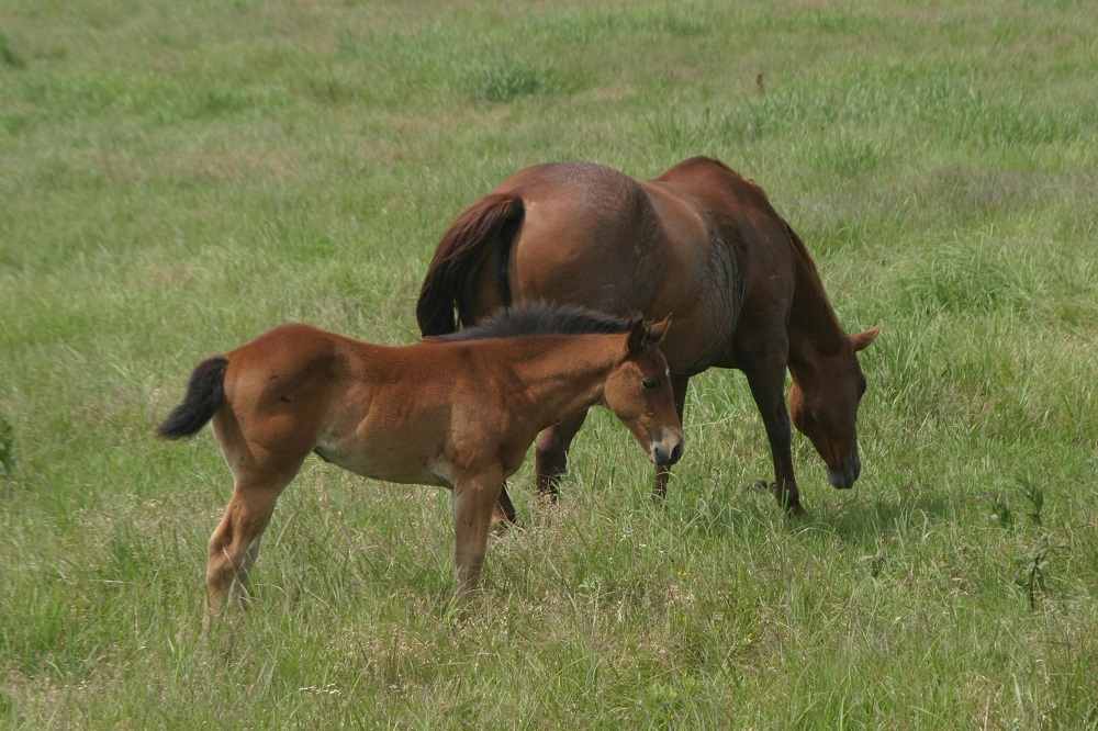Breeding Your Mare - The costs involved