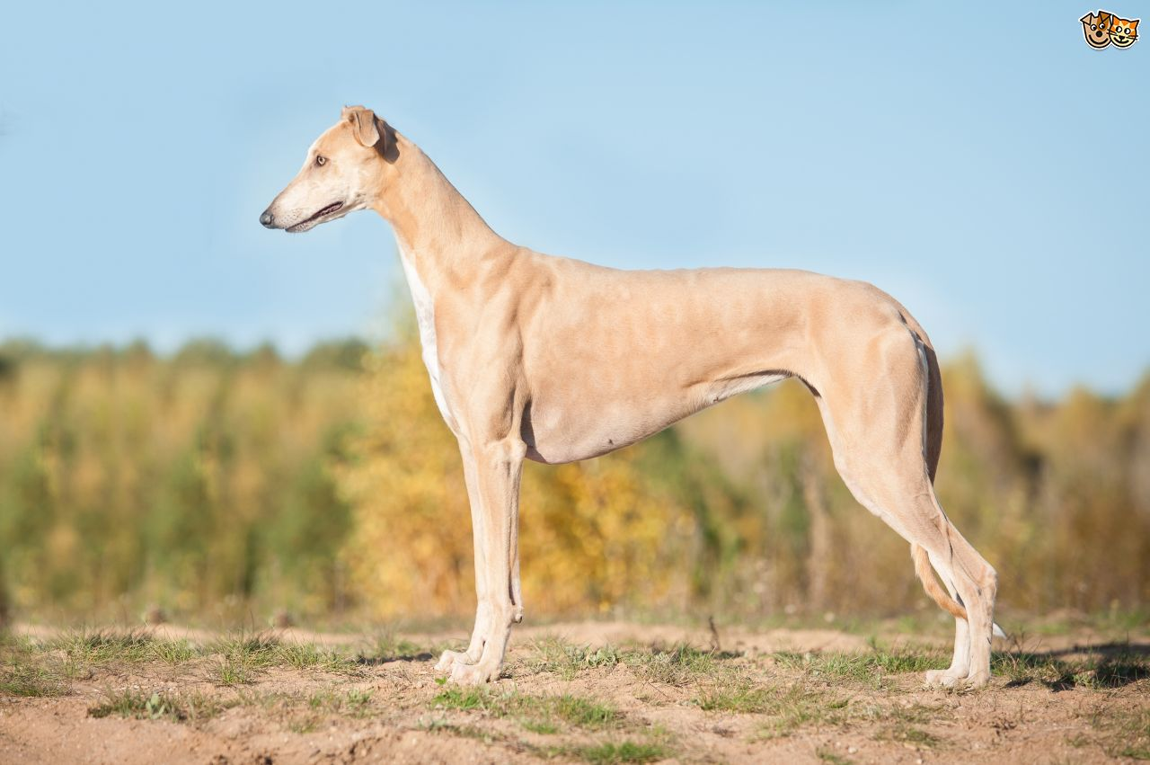 Greyhound-Health